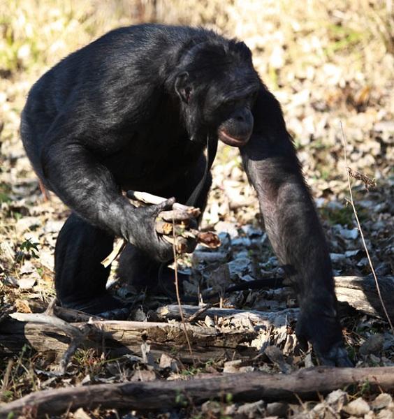 bonoboo1
