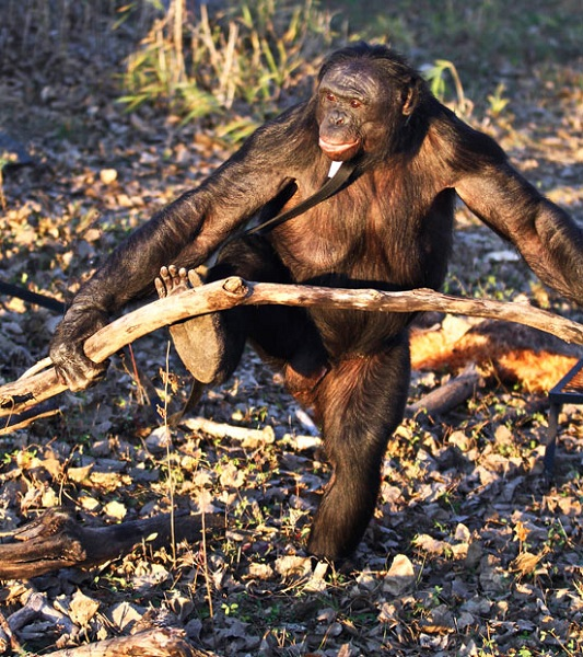 bonoboo2
