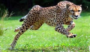 ghepard 1