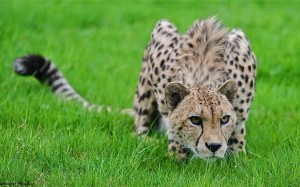 ghepard2
