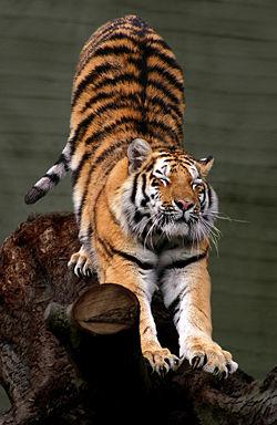 tigrul2