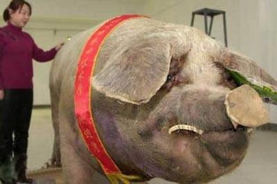 porc gigant